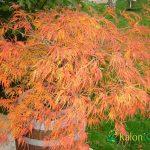 Acer palmatum Dissectum Viridis-Plante amenajari gradini