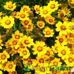 Coreopsis grandiflora - Plante amenajari gradini