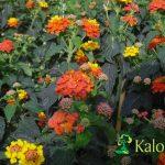 Lantana camara - Plante amenajari gradini