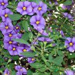 Solanum rantonnetti - Plante amenajari gradini