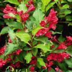 Weigela Bristol Ruby-Plante amenajari gradini