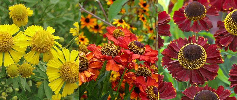Helenium sau Floarea Elenei