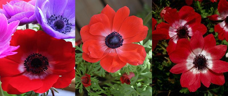 anemona floarea pastelui